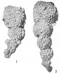Reophax agglutinatus glomeratus
