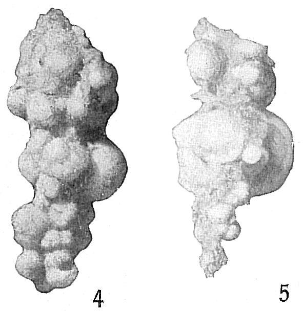 Reophax agglutinatus