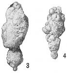 Reophax bilocularis