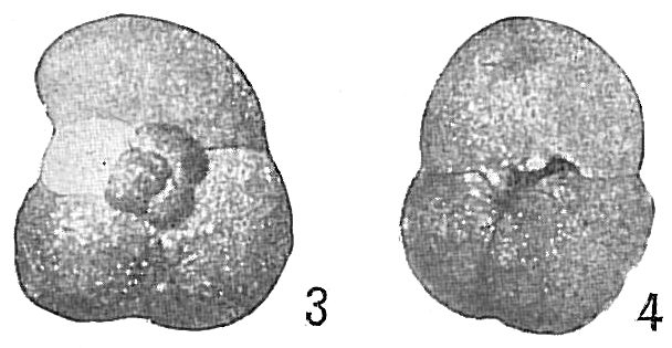 Trochammina globulosa