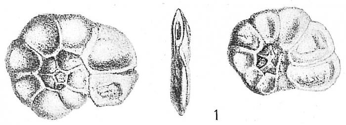 Trochammina inflata macrescens