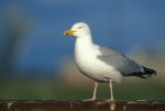 Larus argentatus Pontoppidan, 1763