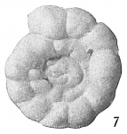 Trochamminoides proteus