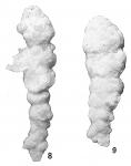 Bigenerina nodosaria var. textularioidea