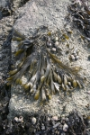 Fucus vesiculosus Linnaeus, 1753