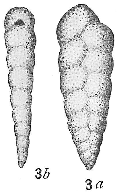 Bolivina variabilis