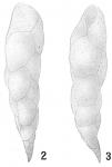 Bulimina elegans var. exilis