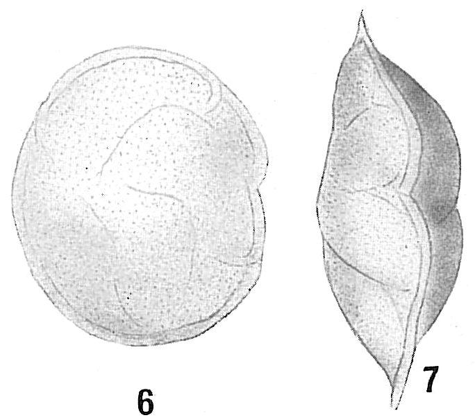 Cassidulina laevigata carinata