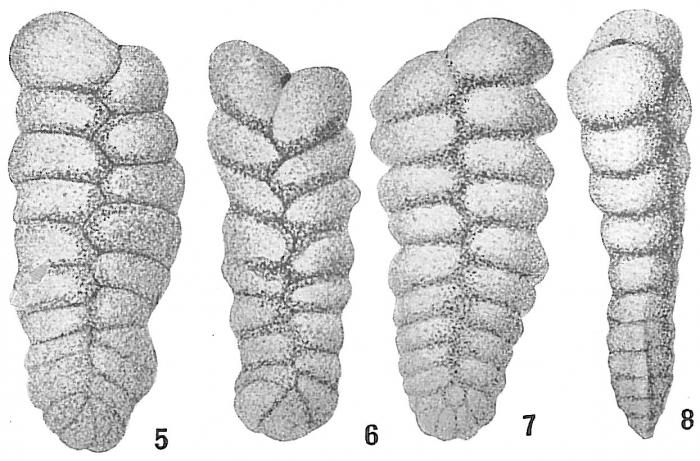 Spiroplecta wrightii