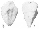 Textularia albatrossi