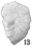 Textularia foliacea var. occidentalis