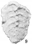 Textularia mexicana
