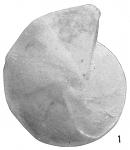 Cristellaria dorbignii, author: Cedhagen, Tomas