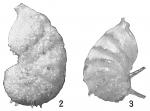 Cristellaria subaculeata glabrata