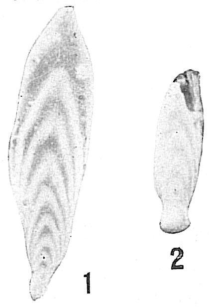 Frondicularia advena