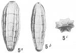 Frondicularia tenera
