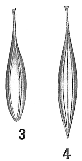 Lagena gracilis