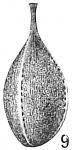 Lagena lagenoides var. tenuistriata