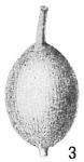 Lagena lyelli