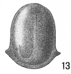 Lagena marginata var. semicarinata
