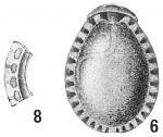 Lagena ornata