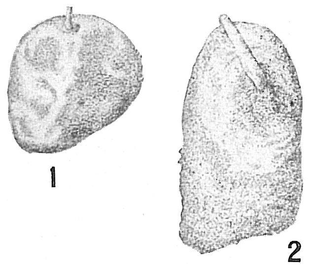 Lagena protea