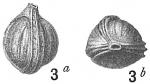 Lagena pulchella