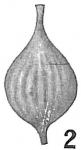 Lagena sulcata apiculata