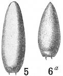 Lagena truncata