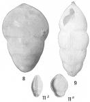 Lingulina seminuda
