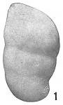 Marginulina glabra obesa