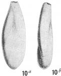 Polymorphina cylindroidea