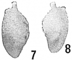 Polymorphina extensa