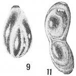 Polymorphina lactea