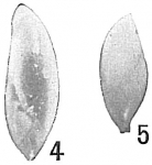 Polymorphina lanceolata