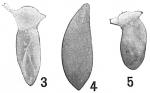 Polymorphina sororia