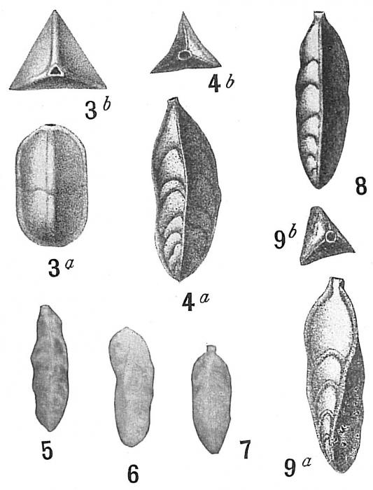 Trifarina bradyi