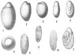 Chilostomella ovoidea
