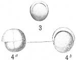 Pullenia sphaeroides
