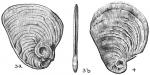 Cornuspiroides striolata