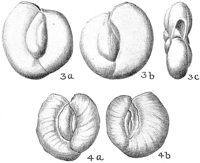 Massilina secans