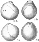 Nummoloculina irregularis