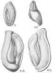 Quinqueloculina bicornis var. angulata