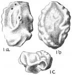 Quinqueloculina kerimbatica