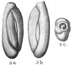 Quinqueloculina laevigata