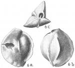 Quinqueloculina lamarckiana