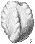 Quinqueloculina parkeri occidentalis, author: Cedhagen, Tomas