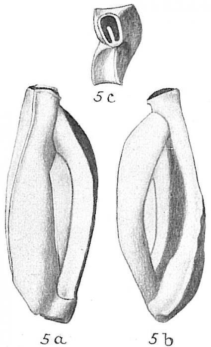 Quinqueloculina polygona