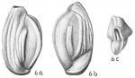 Quinqueloculina seminuda