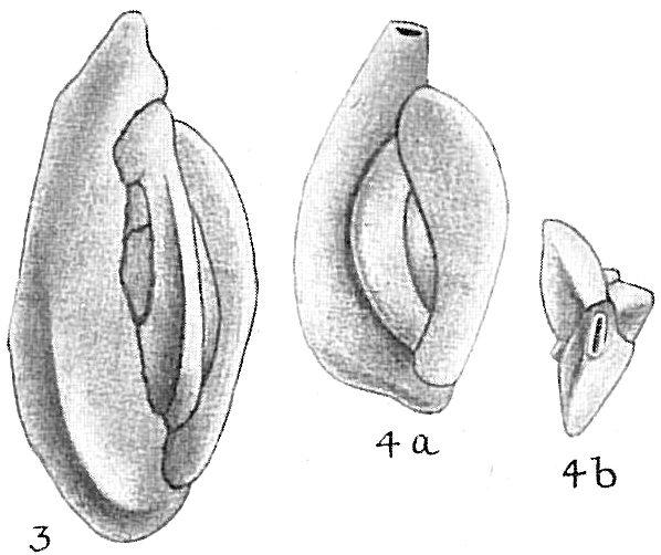 Quinqueloculina stelligera